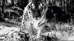Tiger 2 - GIF on Imgur