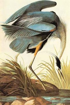 Great Blue Heron . High quality vintage art reproduction by Buyenlarge. One of many rare and wonderful images brought forward in time. I hope they bring you pleasure each and every time you look at th