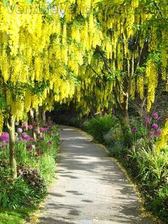 In late Spring the Laburnum Walk at the VanDusen Gardens is one of the site's most breathtaking exhibition of blooms.