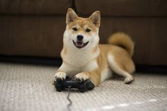 Shiba Inu playing PS3, also wanted to show you a new amazing weight loss product sponsored by Pinterest! It worked for me and I didnt even change my diet! I lost like 16 pounds. Here is where I got it from cutsix.com