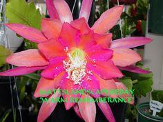 Epiphyllum hybrid 'Warm Remembrance'