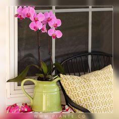 Si la #Orquídea se ha introducido en una maceta decorativa sin agujeros de drenaje, asegúrese de que la tierra no esté saturada de agua. - http://piante.co/ - #Flores #Premium #Decoración #IdeasDeRegalos #Colombia #OrquídeasDeColombia #ColombianOrchids #Regalos #Regaloscorporativos