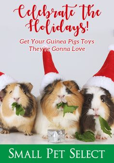 Pet parents should look for natural and safe gift choices. What are some great guinea pig christmas present ideas? You've come to the right place. Guinea Pig Toys, Guinea Pig Care, Homemade Cat Toys, Guniea Pig, Guinea Pig Bedding, Natural Toys, Reptile Cage, Reptile Enclosure, Exotic Fish