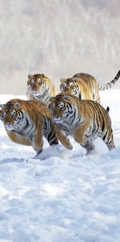 """Four powerful huge tigers - Siberian ? - racing through the cold snow toward the side of the camera (thankfully for the photographer!) - DdO:)> http://www.pinterest.com/DianaDeeOsborne/big-cats-little-cats/ - Original pin from Julie Marson includes note """"from Iryna"""""""