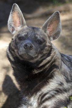 The mongoose and the meerkat are the hyena's closest relatives. Animals And Pets, Baby Animals, Cute Animals, Beautiful Creatures, Animals Beautiful, Brown Hyena, Striped Hyena, Amazing Animal Pictures, Maned Wolf