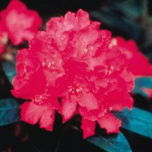 Hellikki Rhododendron- A late bloomer with violet-red blooms. Buds and new growth have a felted coating that persists on the undersides of the leaves. Grows 5 feet tall and wide. Developed by Dr. Peter Tigerstedt at the University of Helsinki, Finland and further tested by the University of Minnesota Landscape Arboretum, it has proven to exhibit bud hardiness to at least -29 degrees F. Bloom size is impressive and dark green foliage is large and evergreen.
