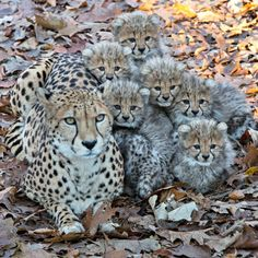 A Cheetah mom at Burgers' Zoo in the Netherlands has her paws full with a litter of six frisky cubs.  Born September 14, the cubs have spent the last few months behind the scenes in their den, just as they would in the wild.  They recently explored outdoors for the first time.