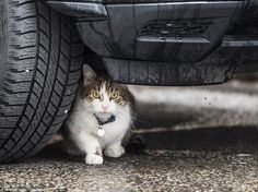 Larry the Downing Street cat sheltering from the rain under a Diplomatic Protection Group's Range Rover outside Number 10 Downing Street