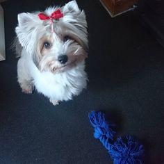 Pleaseeee play with me   #playfuldog #tug #cute #cutedog #yorkie #yorkshireterrier#dog#hund#犬#愛犬#ヨーキー#ヨークシャテリア#yorkiegram #yorkiesofinstagram#yorkies#yorkielove #dogsofinstagram#dogstagram#dogs_of_instagram#doglovers#わんこ #biewer#cane#犬バカ部#hundeliebe#いぬ#chien#perro#jorksir
