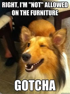 """This is so true! You """"GET OFF THE CHAIR"""" dog: """"ok ;)"""" ten mins later there back on!"""