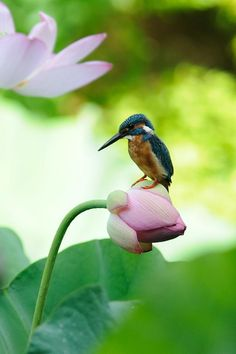 On Lotus Bud ! , Kingfisher by Mubi.A