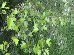Magasvérnyomás,szívproblémák - akkor galagonya.. Herbs, Plants, Alternative, Tips, Herb, Planters, Plant, Spice, Planting