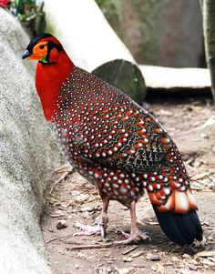 Tragopan blythii, Blyth's tragopan, or Grey-bellied tragopan. Tragopans are a genus within the Phasianidae order—the pheasants. Photo by John Del Rio