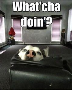 This is my nosy look - Funny Husky Meme - Funny Husky Quote - This is my nosy look Funny Dog Quotes The post This is my nosy look appeared first on Gag Dad. The post This is my nosy look appeared first on Gag Dad. Funny Husky Meme, Dog Quotes Funny, Dog Memes, Funny Dogs, Funny Animal Pictures, Cute Funny Animals, Husky Tumblr, Cute Puppies, Cute Dogs