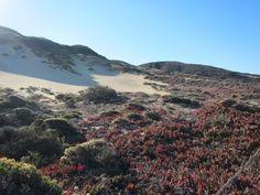 Ice plant covered sand dunes Plant Covers, Ice Plant, Dune, West Coast, Coastal, California, Sky, River, Group