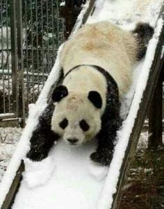 Photo of Pandas! for fans of Pandas 22054510 Niedlicher Panda, Panda Funny, Panda Love, Cute Panda, Happy Panda, Happy Guy, Animals And Pets, Baby Animals, Funny Animals