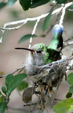 Winged Jewel nesting.