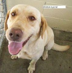 Tex Yellow Labrador Retriever • Adult • Male • Large Lowcountry Lab Rescue Charleston, SC