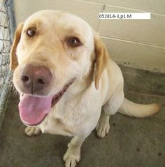 Tex Yellow Labrador Retriever • Adult • Male • Large Lowcountry Lab Rescue Charleston, SC