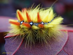 Sycamore Moth Caterpillar.  Hard to believe that it turns into a plain colored moth...