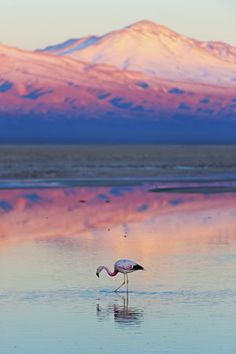 Photographic Print: Flamingo, Pink Sunset above Atacama Desert by longtaildog : Chile Travel Honeymoon Backpack Backpacking Vacation South America Places To Travel, Places To See, Travel Destinations, Pink Sunset, Desert Sunset, Photos Voyages, South America Travel, Beautiful Landscapes, Wonders Of The World