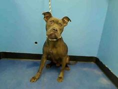 URGENT - Manhattan Center   COAL - A0985192   MALE, GRAY, PIT BULL MIX, 3 yrs  STRAY - STRAY WAIT, NO HOLD Reason ABANDON  Intake condition NONE Intake Date 11/17/2013, From NY 11435, DueOut Date 11/20/2013 https://www.facebook.com/media/set/?set=a.709055769107305.1073742638.152876678058553&type=3#!/photo.php?fbid=709708789042003&set=pb.152876678058553.-2207520000.1384894419.&type=3&theater
