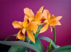 Cattlianthe Gold Digger 'Mandarin'