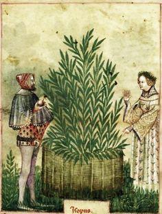 Tacuinum Sanitatis, ca. 1400 Hops