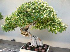 Bello bonsái