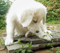 GREAT PRYNESS DOG PHOTO   Angel the Great Pyrenees   Puppies   Daily Puppy