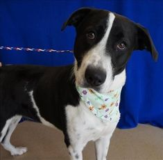 Check out Dolly Moo's profile on AllPaws.com and help her get adopted! Dolly Moo is an adorable Dog that needs a new home. https://www.allpaws.com/adopt-a-dog/great-dane-mix-hound/6148436?social_ref=pinterest