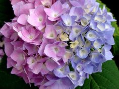 Flowers (like Hydrangeas) change color depending on the pH of the soil. Adding coffee grounds to the soil turns the blue.