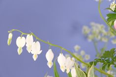 Dicentra spectabilis alba or bleeding heart Bloom, Heart, Flowers, Plants, Plant, Royal Icing Flowers, Flower, Florals, Hearts