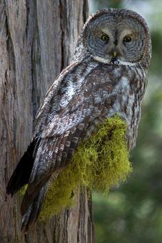 Owl at Yosemite National Park Owl Pictures, Nature Pictures, Beautiful Owl, Animals Beautiful, Yosemite National Park, National Parks, Strix Nebulosa, Owl Mug, Barred Owl