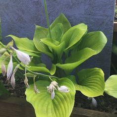 Sum and Substance Hosta blooming Sun Hostas, Shade Perennials, Shade Plants, Lavender Flowers, Purple Flowers, White Flowers, Fire Flower, Flower Pots