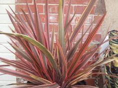 Photo of New Zealand Flax (Phormium tenax 'Sundowner') uploaded by pniksch