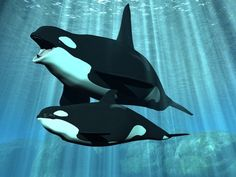 Earlier pregnancies among orcas lead to higher calf mortality rate. | 11 Facts Everyone Should Know About Orca Captivity