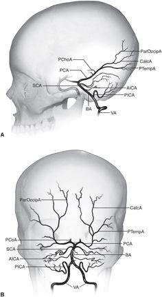 Chapter 1: Neuro-Ophthalmic Anatomy   Ento Key Brain Anatomy, Medical Anatomy, Body Anatomy, Anatomy And Physiology, Human Anatomy, Skull Anatomy, Nervous System Anatomy, Interventional Radiology, Psychiatric Nursing