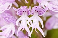 These are Flowers that look like something else!! God's Creativity.   Naked Man Orchid (Orchis Italica)