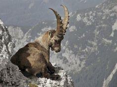 Estas 22 fotografías muestran que las cabras salvajes son criaturas que no conocen el miedo