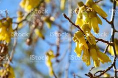 New Zealand Native Kowhai Bloom, Spring royalty-free stock photo Spring Images, Spring Photos, Golden Flower, Image Now, Nature Photos, New Zealand, Nativity, Royalty Free Stock Photos, Bloom