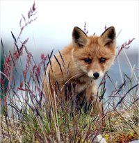 Red Fox Cub by Steinar - The Nature Around Me Blog