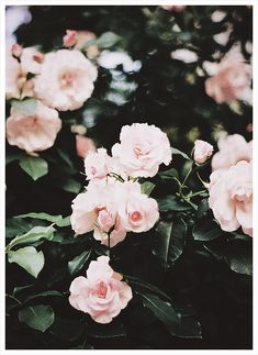 Camelias...no, roses. Roses thar look like camellias.