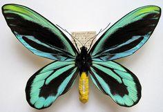 ornithoptera alexandrae male Popondetta/ Deutsches Neu-Guinea