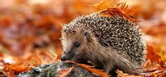 Tips for attracting more hedgehogs to your garden http://www.thegardencentregroup.co.uk/gardening-advice/tips-for-attracting-hedgehogs-to-your-garden