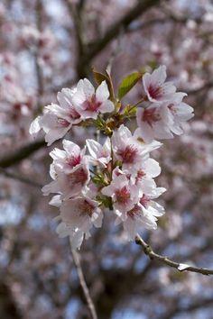 Japansk kirsebærtræ - til altanen