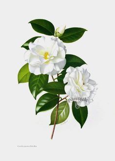 Botanical prints from Paul Jones The Camellia Vintage Botanical Prints, Botanical Drawings, Botanical Illustration, Vintage Prints, Botanical Flowers, Botanical Art, Flower Prints, Flower Art, Vegetable Illustration