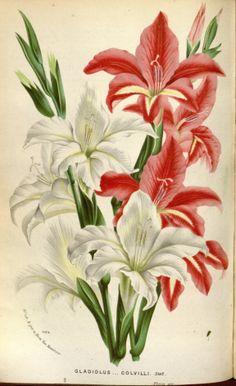 Gladiolus colvillii - circa 1845 987