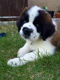 Our new St Bernard puppy Guinness Cute Puppies, Cute Dogs, Dogs And Puppies, Doggies, Big Dogs, I Love Dogs, Cute Baby Animals, Animals And Pets, Burmese Mountain Dogs
