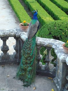 Peacock in Botanical Garden, Lisbon - A. E. Brodsky